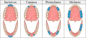 tipos de piezas dentarias