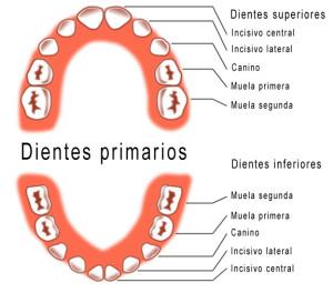 piezas dentales temporales