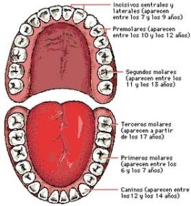 dientes adulto