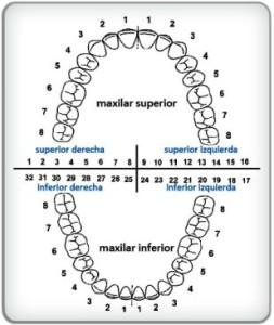 Sistema de numeracion dental de Palmer